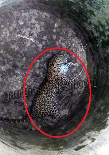 वन विभाग के अफसरों की उदासीनता से कुएं में फंसा तेंदुआ