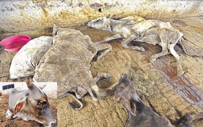मेनका गांधी की गौशाला में मर रही गायों को योगी-मोदी ही बचा सकते हैं